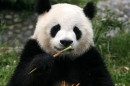 shutterstock_3342553pandaeating copy.jpg